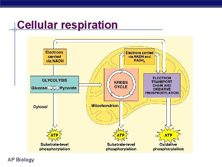 Cellular respiration AP Biology