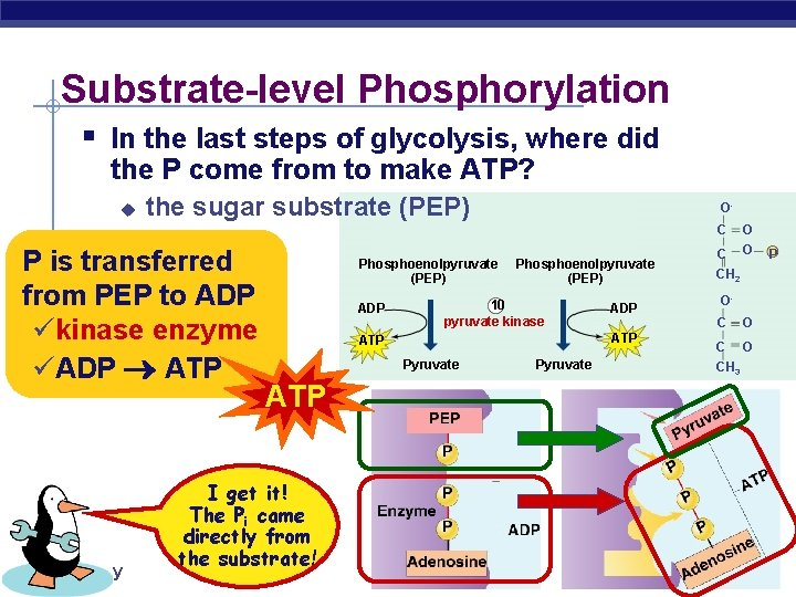 Substrate-level Phosphorylation § In the last steps of glycolysis, where did the P come