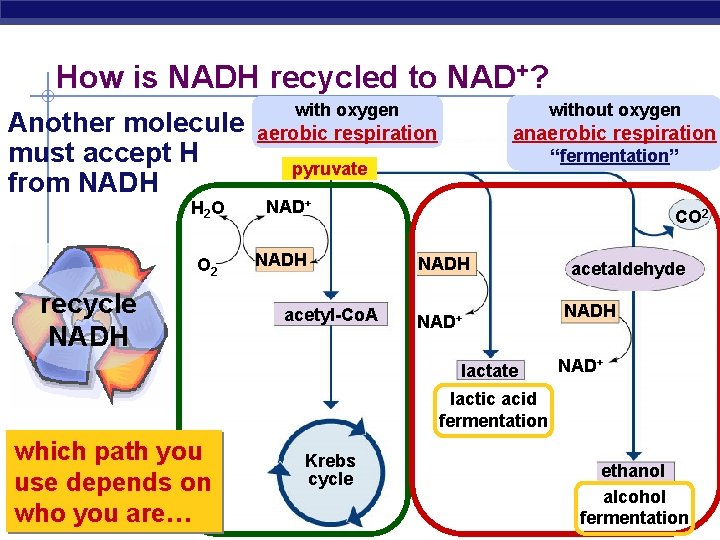 How is NADH recycled to NAD+? without oxygen with oxygen Another molecule aerobic respiration