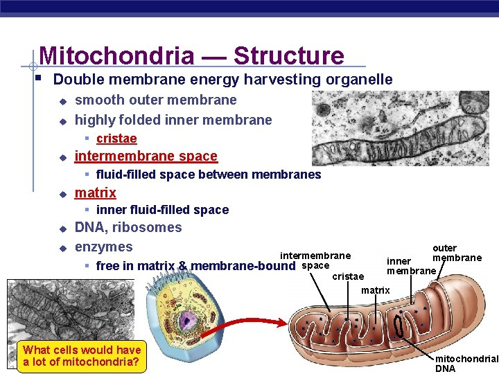 Mitochondria — Structure § Double membrane energy harvesting organelle u u smooth outer membrane