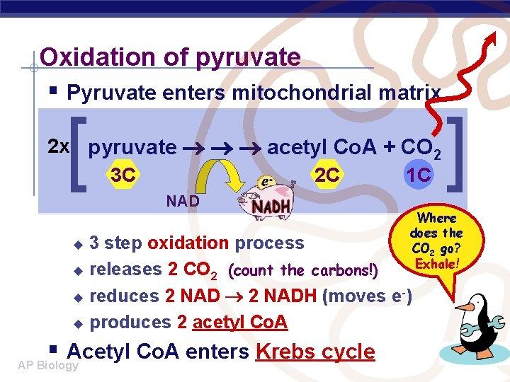 Oxidation of pyruvate § Pyruvate enters mitochondrial matrix [ 2 x pyruvate acetyl Co.
