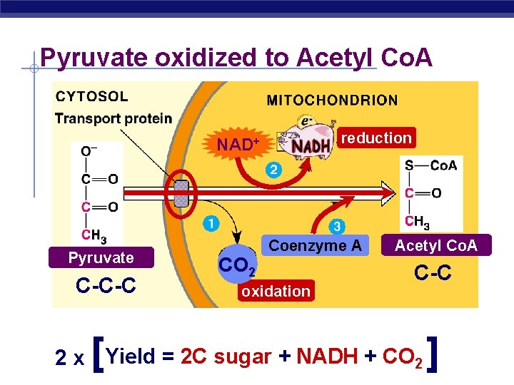 Pyruvate oxidized to Acetyl Co. A reduction NAD+ Pyruvate C-C-C [ CO 2 Coenzyme