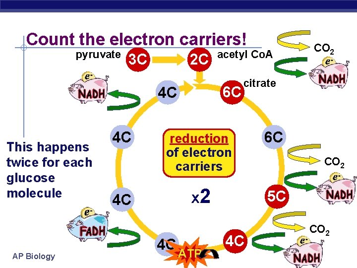 Count the electron carriers! pyruvate 3 C FADH 2 AP Biology 6 C 4