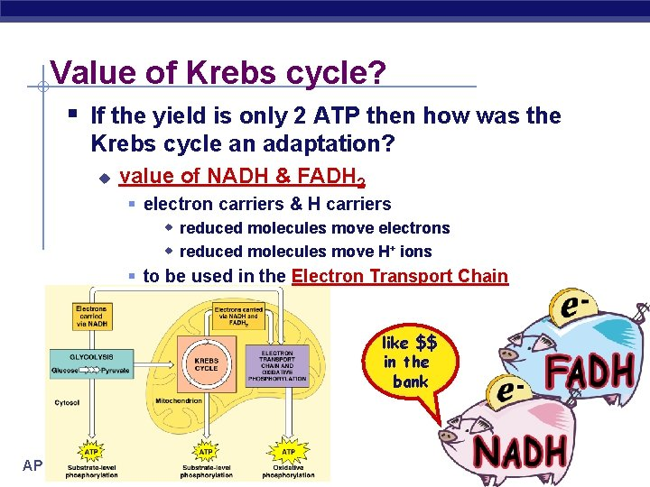 Value of Krebs cycle? § If the yield is only 2 ATP then how