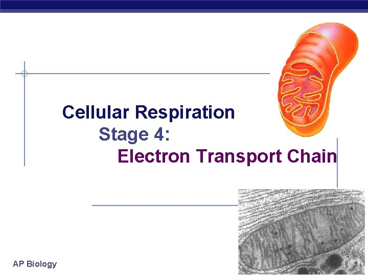 Cellular Respiration Stage 4: Electron Transport Chain AP Biology 2006 -2007