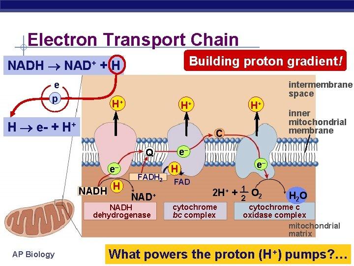 Electron Transport Chain Building proton gradient! NADH NAD+ + H e p intermembrane space