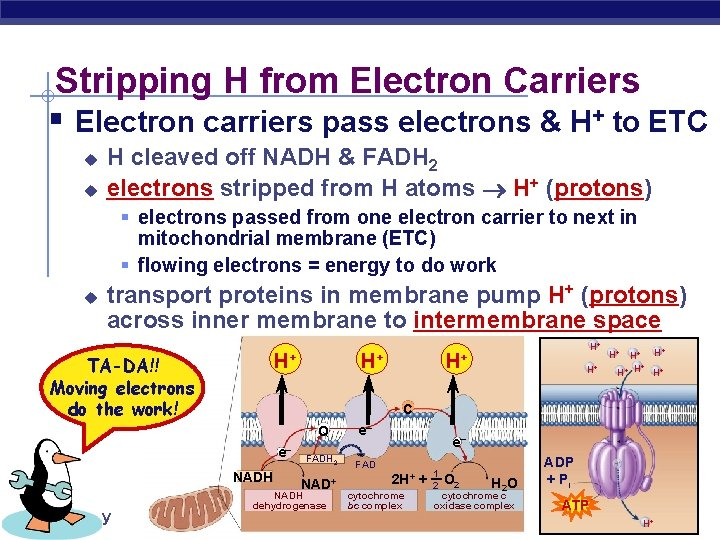 Stripping H from Electron Carriers § Electron carriers pass electrons & H+ to ETC