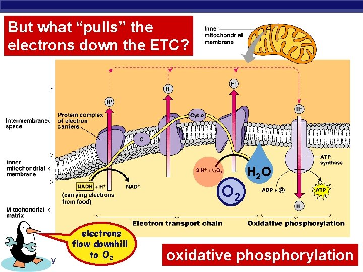 """But what """"pulls"""" the electrons down the ETC? H 2 O O 2 AP"""