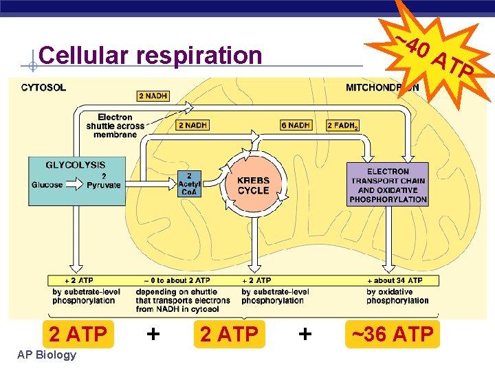 ~4 0 A Cellular respiration 2 ATP AP Biology + 2 ATP + ~36