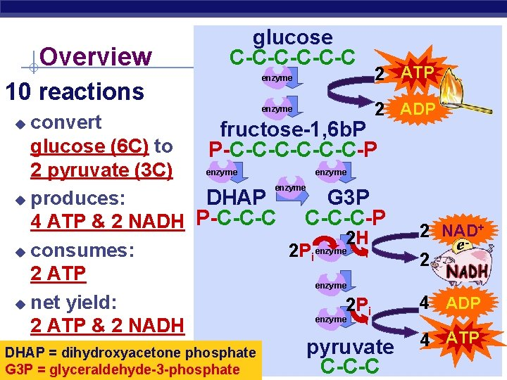 Overview glucose C-C-C-C 10 reactions enzyme 2 ATP 2 ADP convert fructose-1, 6 b.