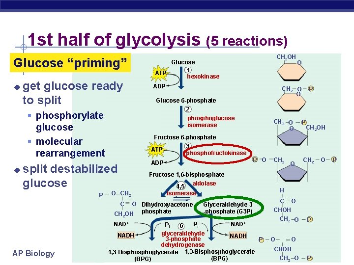 """1 st half of glycolysis (5 reactions) Glucose """"priming"""" u get glucose ready to"""