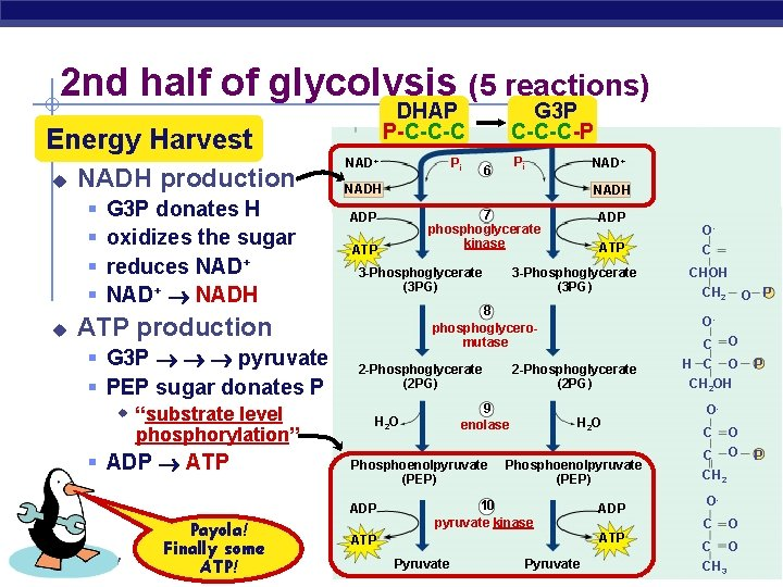 2 nd half of glycolysis (5 reactions) DHAP P-C-C-C Energy Harvest u NADH production