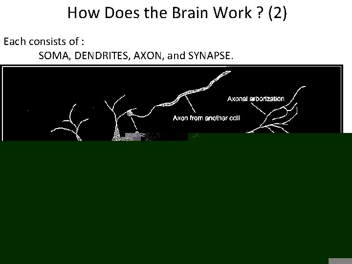 How Does the Brain Work ? (2) Each consists of : SOMA, DENDRITES, AXON,