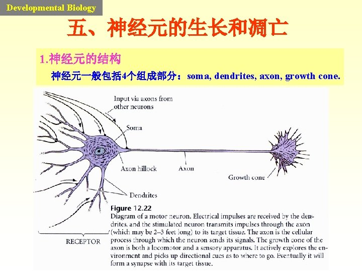 Developmental Biology 五、神经元的生长和凋亡 1. 神经元的结构 神经元一般包括 4个组成部分:soma, dendrites, axon, growth cone.