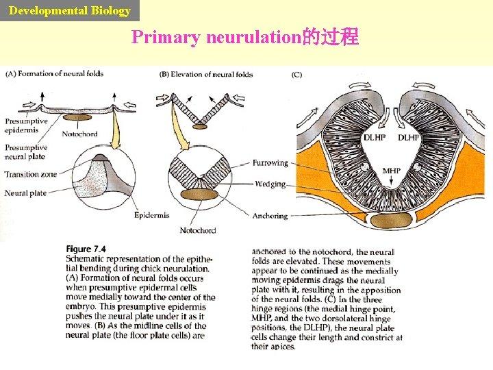 Developmental Biology Primary neurulation的过程