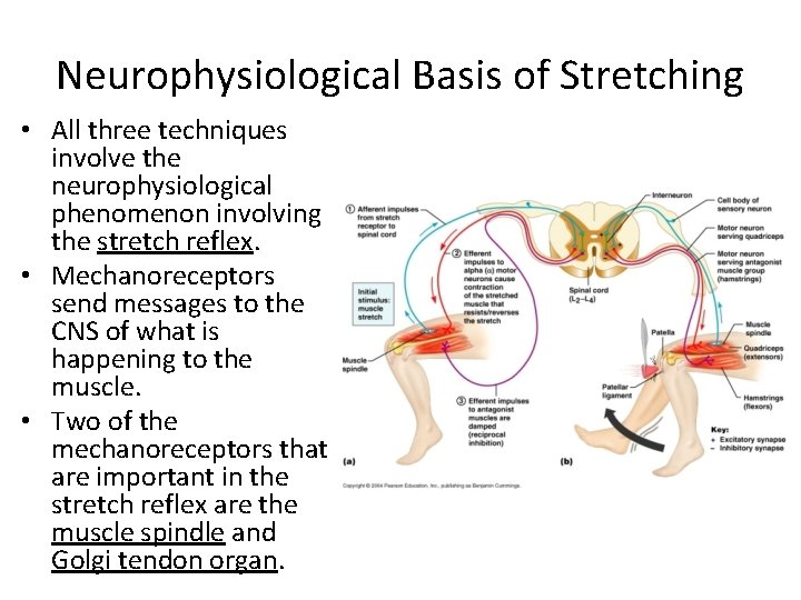 Neurophysiological Basis of Stretching • All three techniques involve the neurophysiological phenomenon involving the
