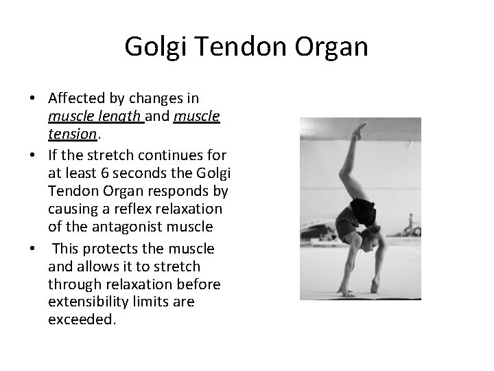 Golgi Tendon Organ • Affected by changes in muscle length and muscle tension. •