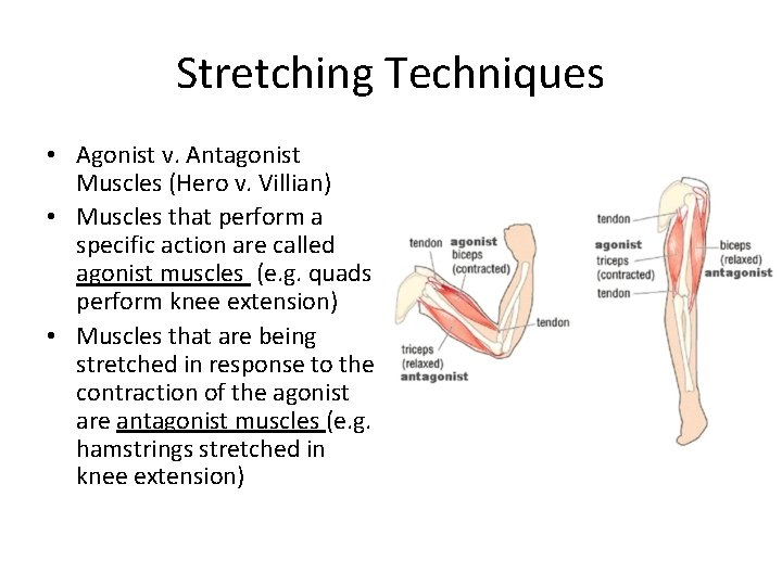 Stretching Techniques • Agonist v. Antagonist Muscles (Hero v. Villian) • Muscles that perform