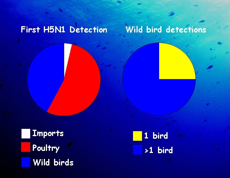 First H 5 N 1 Detection Wild bird detections Imports 1 bird Poultry >1
