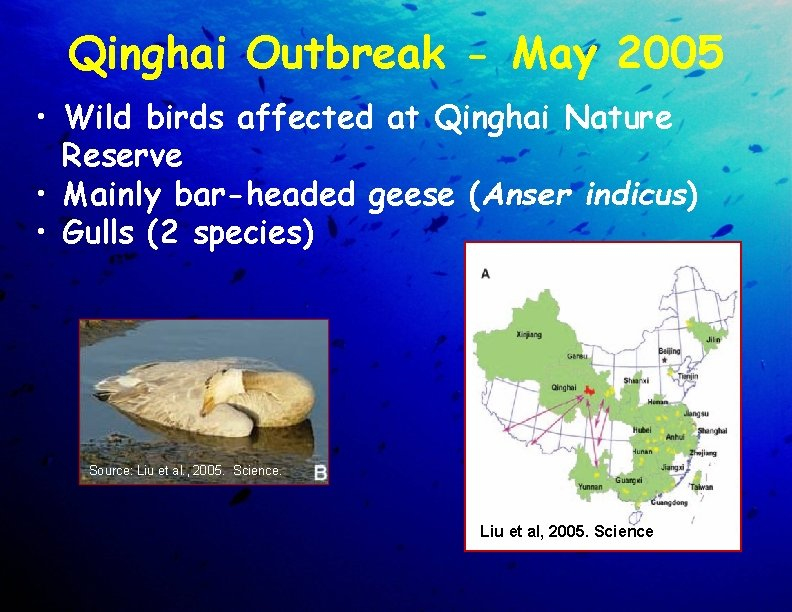 Qinghai Outbreak - May 2005 • Wild birds affected at Qinghai Nature Reserve •