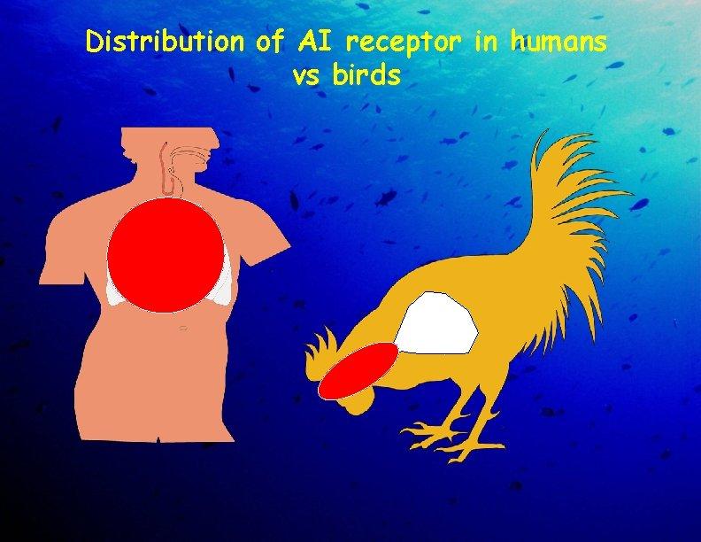 Distribution of AI receptor in humans vs birds