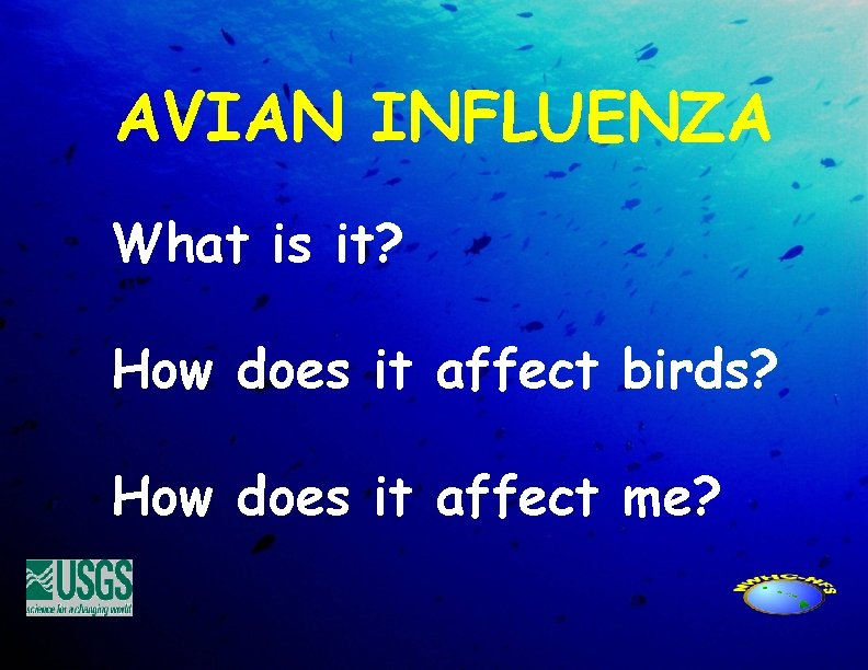 AVIAN INFLUENZA What is it? How does it affect birds? How does it affect