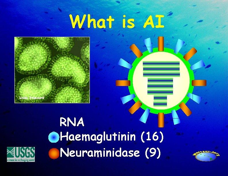 What is AI Linda Stannard RNA Haemaglutinin (16) Neuraminidase (9)