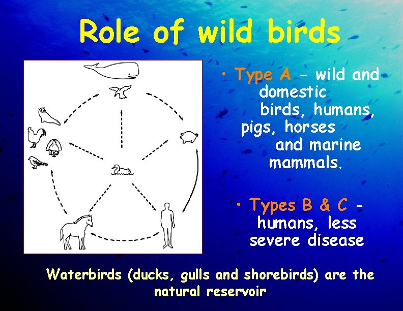 Role of wild birds • Type A - wild and domestic birds, humans, pigs,