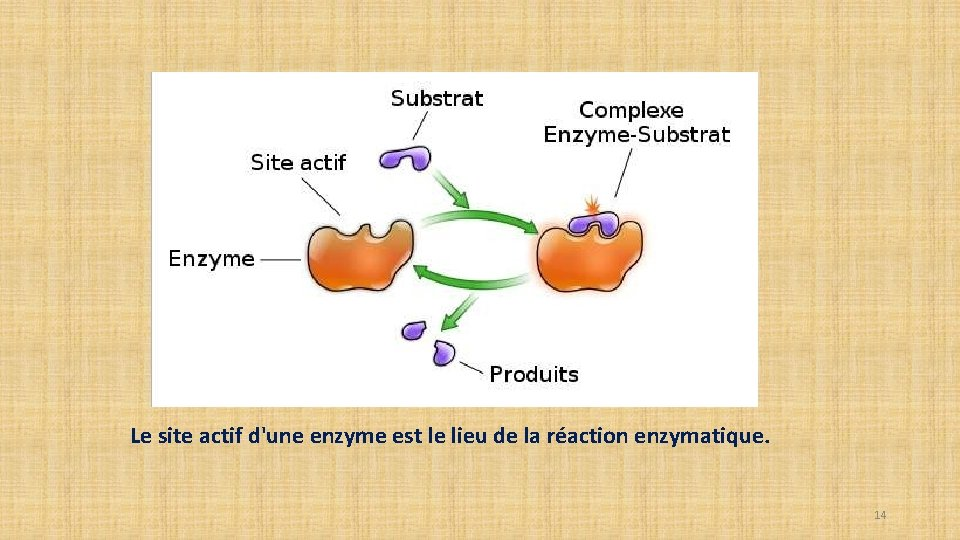 Le site actif d'une enzyme est le lieu de la réaction enzymatique. 14