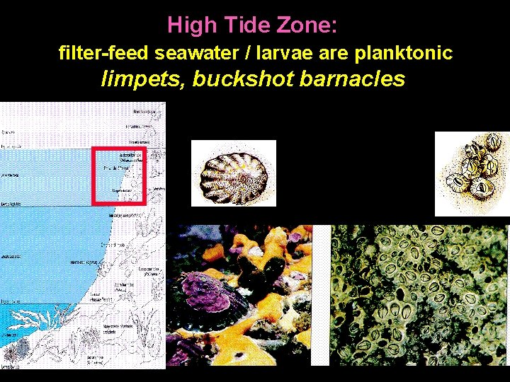High Tide Zone: filter-feed seawater / larvae are planktonic limpets, buckshot barnacles