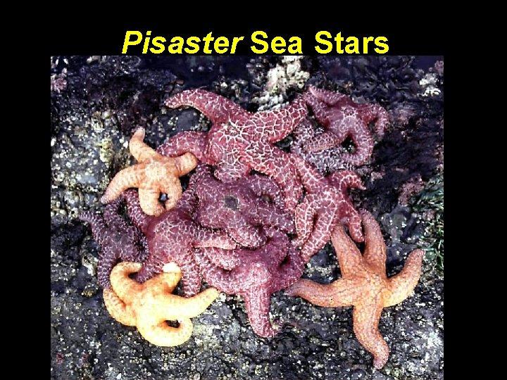Pisaster Sea Stars