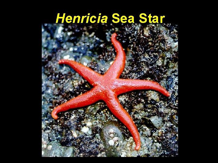 Henricia Sea Star