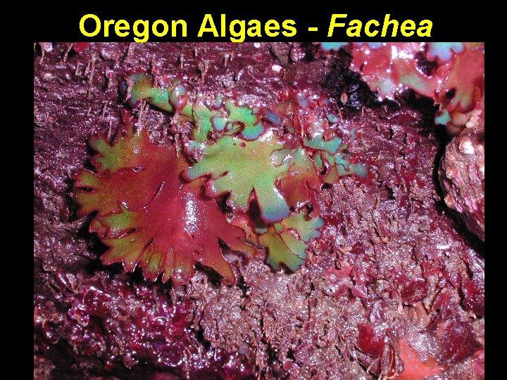 Oregon Algaes - Fachea