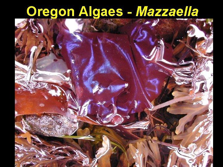 Oregon Algaes - Mazzaella
