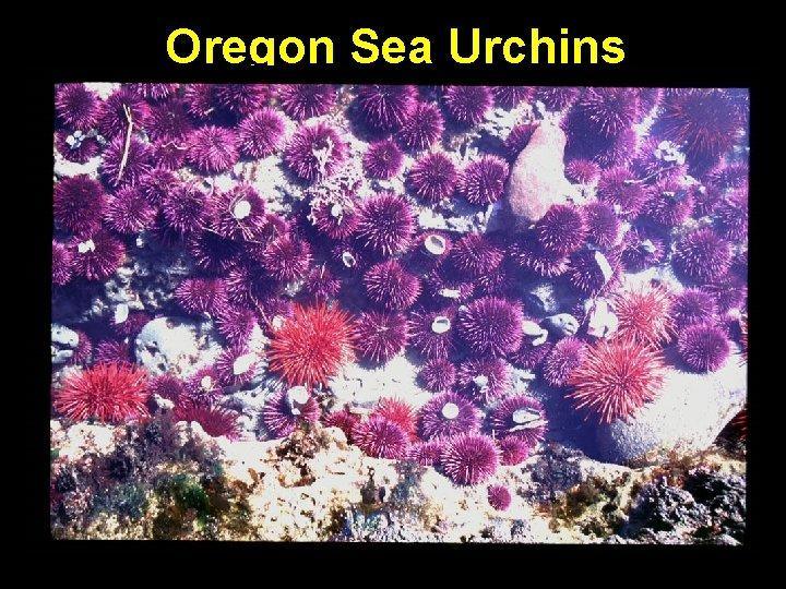 Oregon Sea Urchins
