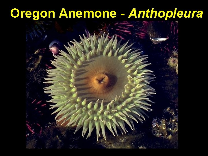 Oregon Anemone - Anthopleura