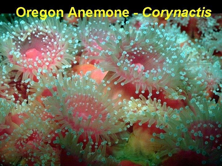 Oregon Anemone - Corynactis