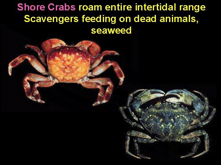 Shore Crabs roam entire intertidal range Scavengers feeding on dead animals, seaweed