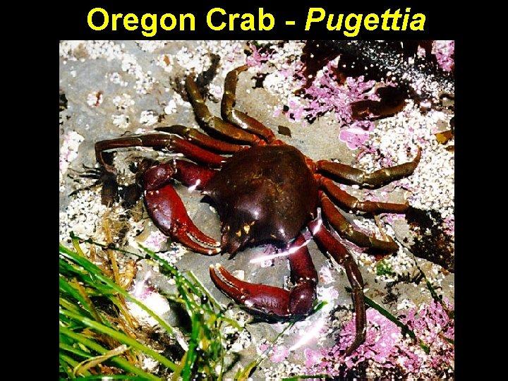 Oregon Crab - Pugettia