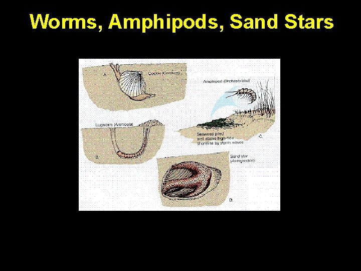 Worms, Amphipods, Sand Stars