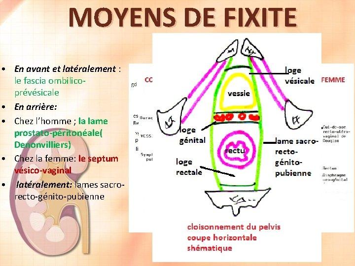 MOYENS DE FIXITE • En avant et latéralement : le fascia ombilicoprévésicale • En