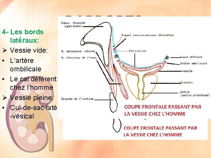 4 - Les bords latéraux: Ø Vessie vide: • L'artère ombilicale • Le cal