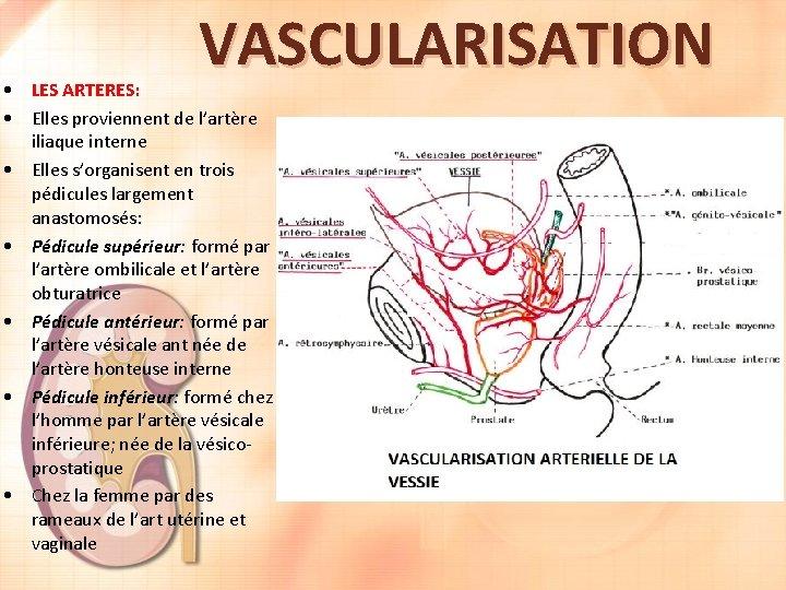 VASCULARISATION • LES ARTERES: • Elles proviennent de l'artère iliaque interne • Elles s'organisent