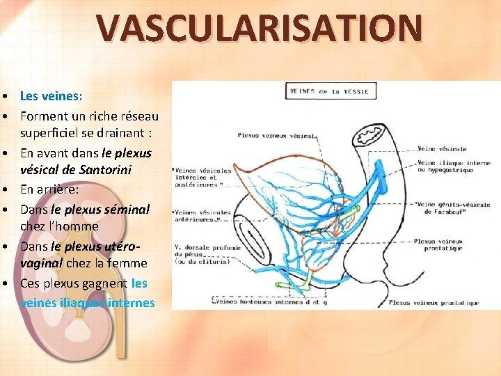 VASCULARISATION • Les veines: • Forment un riche réseau superficiel se drainant : •