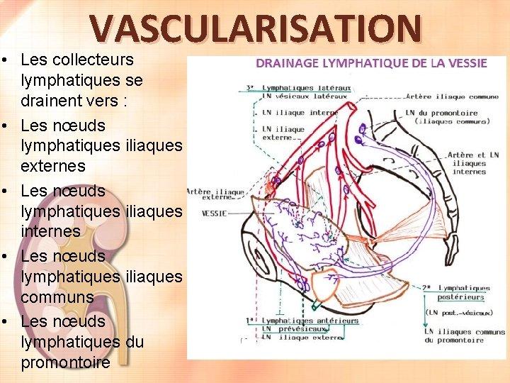 VASCULARISATION • Les collecteurs lymphatiques se drainent vers : • Les nœuds lymphatiques iliaques