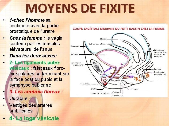 MOYENS DE FIXITE • 1 -chez l'homme sa continuité avec la partie prostatique de
