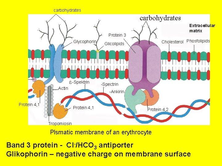 carbohydrates Extracellular matrix Protein 3 Glycophorin ß -Spektrin Actin Protein 4, 1 Cholesterol Phosfolipids