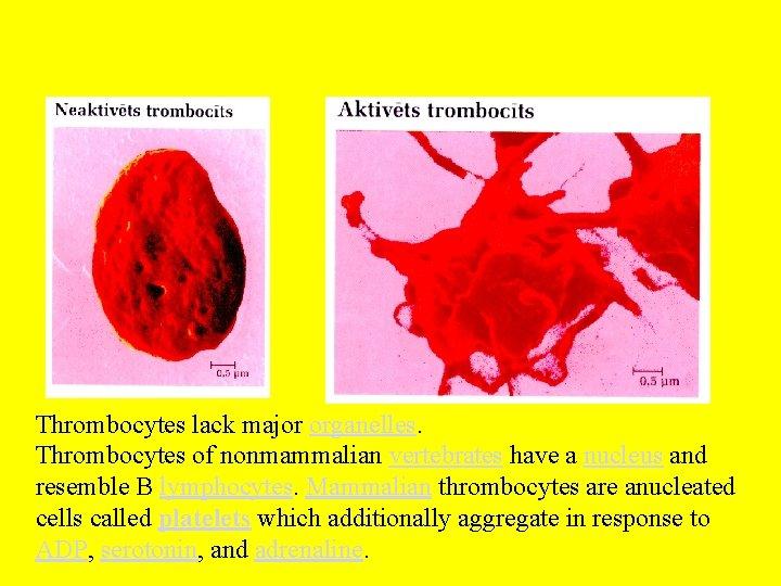 Thrombocytes lack major organelles. Thrombocytes of nonmammalian vertebrates have a nucleus and resemble B
