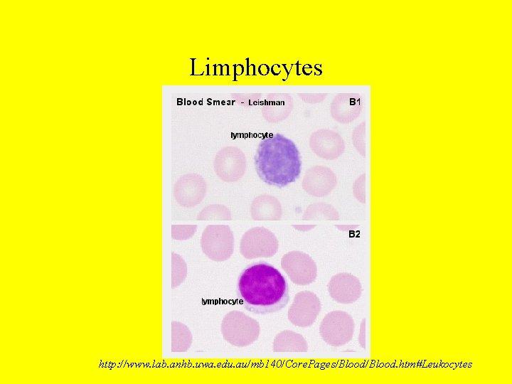 Limphocytes http: //www. lab. anhb. uwa. edu. au/mb 140/Core. Pages/Blood. htm#Leukocytes