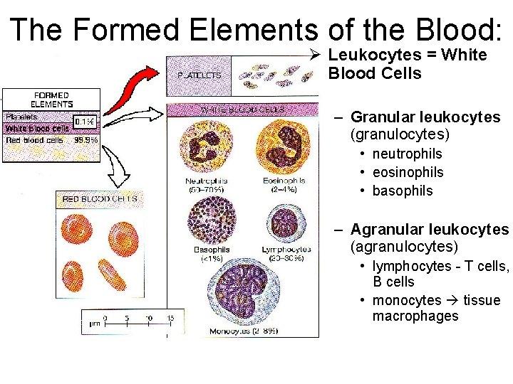 The Formed Elements of the Blood: Ø Leukocytes = White Blood Cells – Granular